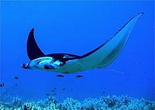 Migrating Manta Rays are spotted fequently here