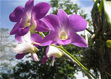 Beautiful orchids in bloom for you at our various orchid farms