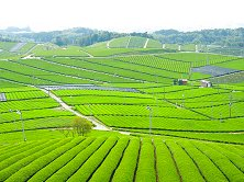 Tea plantations still abound in Malaysia